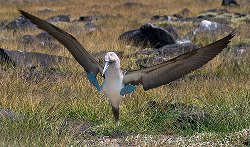 Blue-footed Booby landing