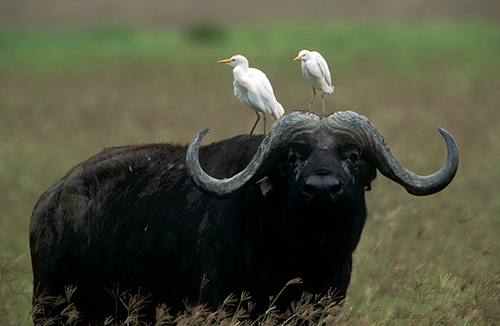 Cape Buffalo with Egrets