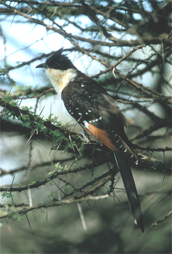 Great-spotted Cuckoo juv