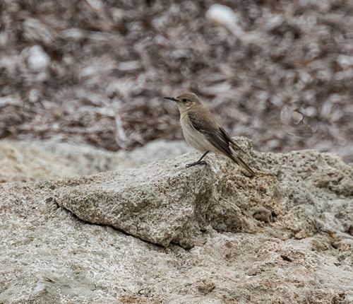 Hooded Wheatear fem