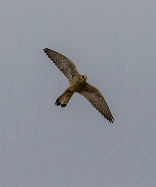 Common Kestrel fem.