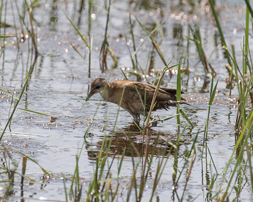 Little Crake-7356