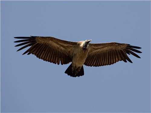 Long-billed Vulture
