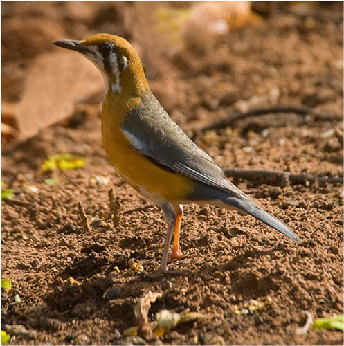 Orange-headed Thrush (cyanatos)