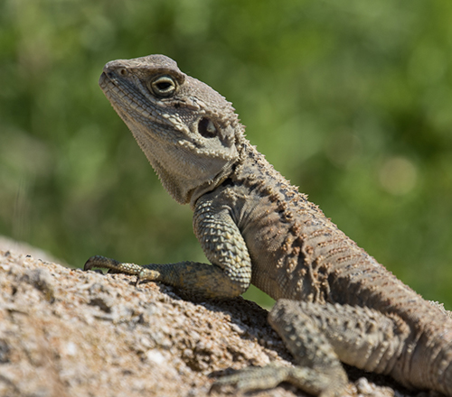 Starred Agama Lizard