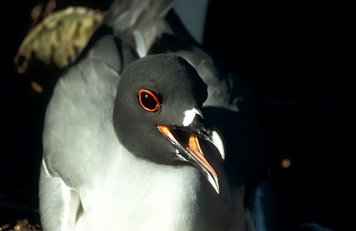 Swallow-tailed Gull panting