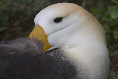Waved Albatross-h&s